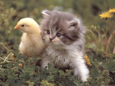 VCUTE DUCK AND CATT